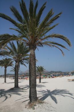 Blick auf den Sandstrand mit Palmen in Ca´n Picafort