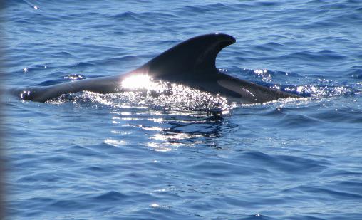 Whalewatching im La Gomera Urlaub: Grindwal vor La Gomera